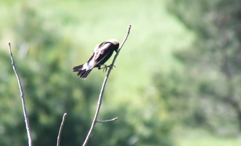 Bobolink rubs beak - kettle trail - forks of the credit provincial park - ontario