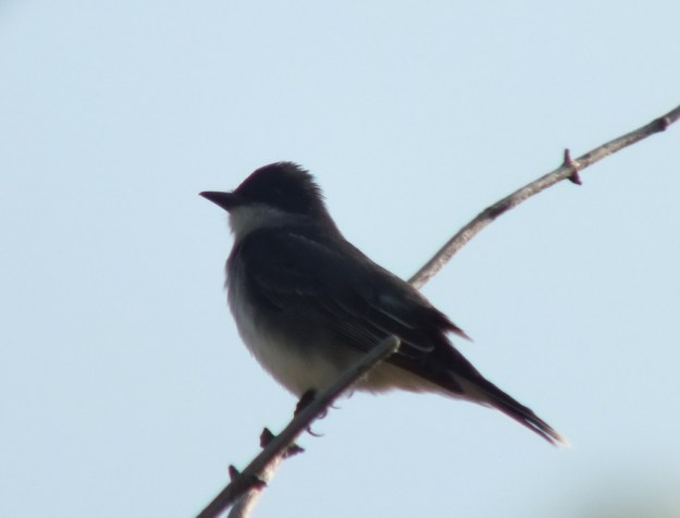 Eastern Kingbird in profile - Second Marsh - Oshawa - Ontario