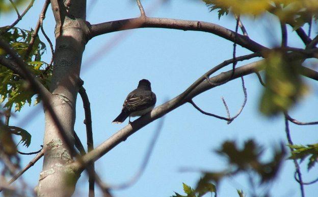 Eastern Kingbird - tail feathers - Second Marsh - Oshawa - Ontario