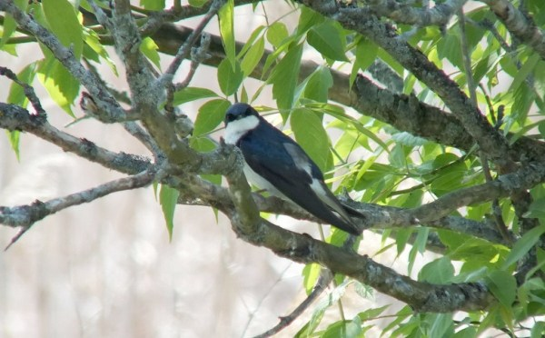 Tree Swallow looks at Jean - Second Marsh - Oshawa - Ontario
