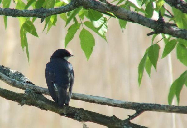 Tree Swallow looks right - Second Marsh - Oshawa - Ontario