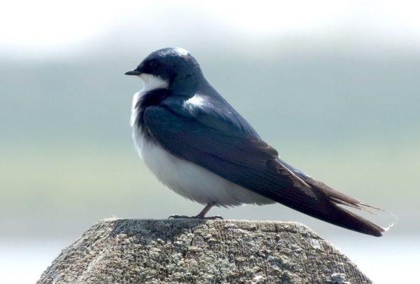 Tree Swallow on lookout - Second Marsh - Oshawa - Ontario