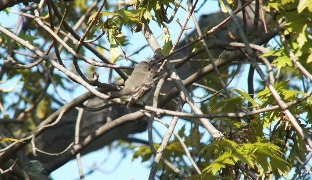 Willow Flycatcher holds wings downward sitting in tree - Second Marsh - Oshawa - Ontario