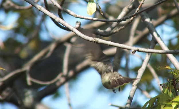 Willow Flycatcher takes flight in a blur from tree - Second Marsh - Oshawa - Ontario