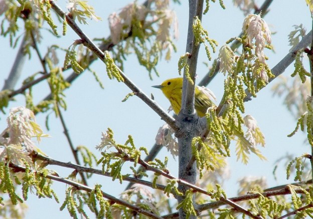 Yellow Warbler male in tree - Second Marsh - Oshawa - Ontario