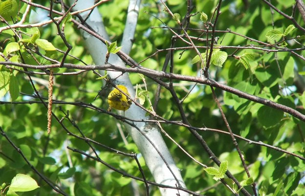 Yellow warbler - rear view - Second Marsh - Oshawa - Ontario