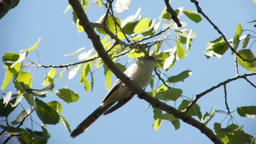 black billed cuckoo - in a tree - forks of the credit provincial park - ontario