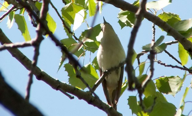 black billed cuckoo - long beak - forks of the credit provincial park - ontario