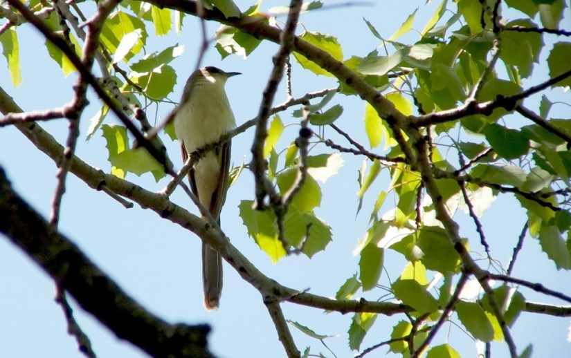black billed cuckoo - sits in tree - forks of the credit provincial park - ontario