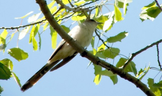 black billed cuckoo - sits on a branch - forks of the credit provincial park - ontario