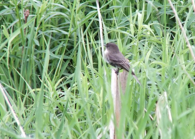 eastern phoebe - green river - whitevale - ontario
