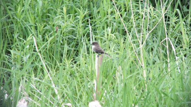 eastern phoebe - --- green river - whitevale - ontario