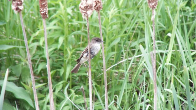 eastern phoebe - on a bullrush stem - whitevale - ontario
