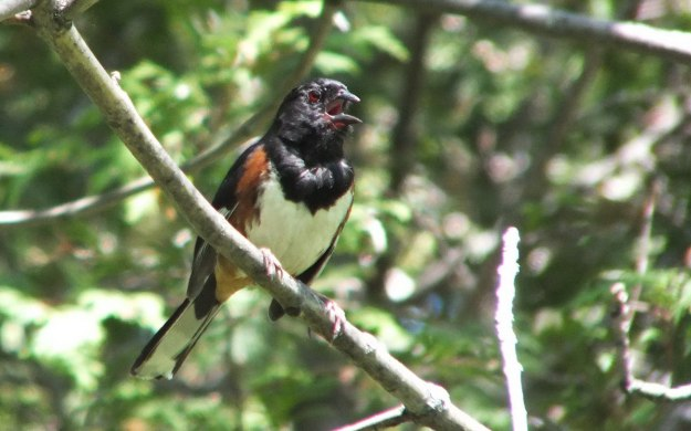 eastern towhee sings out - trans canada trail - forks of the credit - caledon - ontario