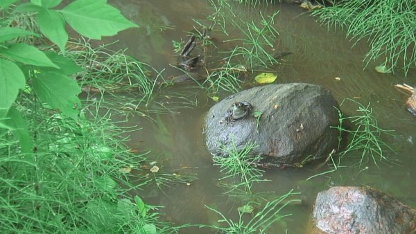 frog sits high and dry in wet world - green river - ontario