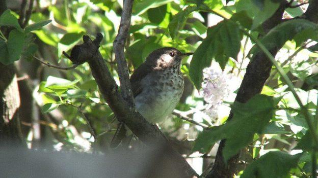 hermit thrush - profile - toronto - ontario