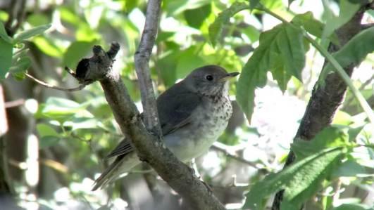 hermit thrush - sits in tree - toronto - ontario