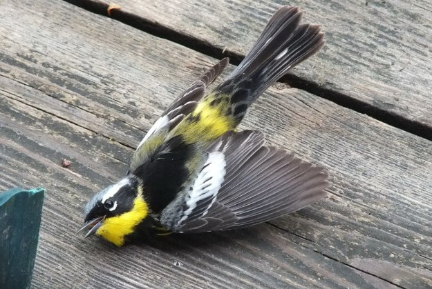 magnolia warbler - female - moments after hitting window - oxtongue lake - ontario