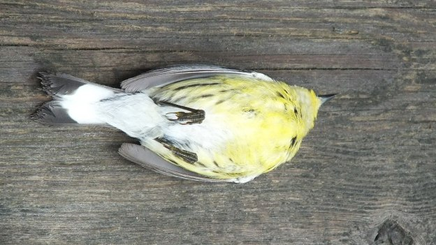 magnolia warbler - female - view of breast after hitting window - oxtongue lake - ontario