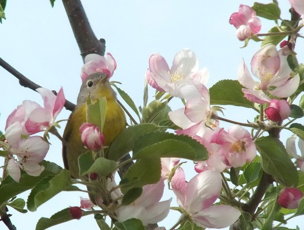 nashville warbler - looks ahead in tree - toronto - ontario