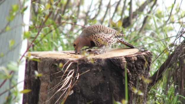 northern flicker - hunts for a grub in tree stump - oxtongue lake - ontario