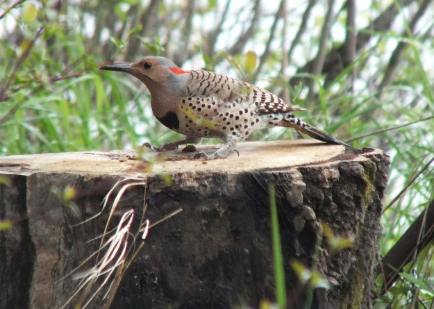 northern flicker - sits atop tree stump - oxtongue lake - ontario