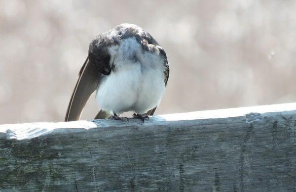 tree swallow fledgling - preens under right wing - second marsh - oshawa - ontario