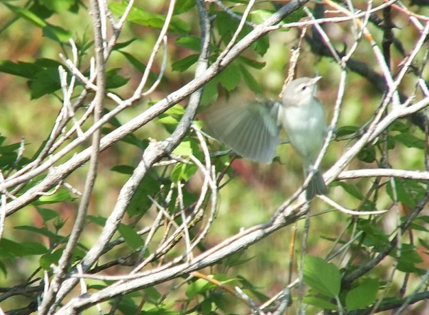 warbling vireo - lands in a blur - second marsh - oshawa - ontario