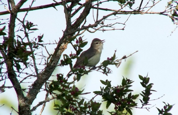 warbling vireo - sits among pink flowers on tree - second marsh - oshawa - ontario