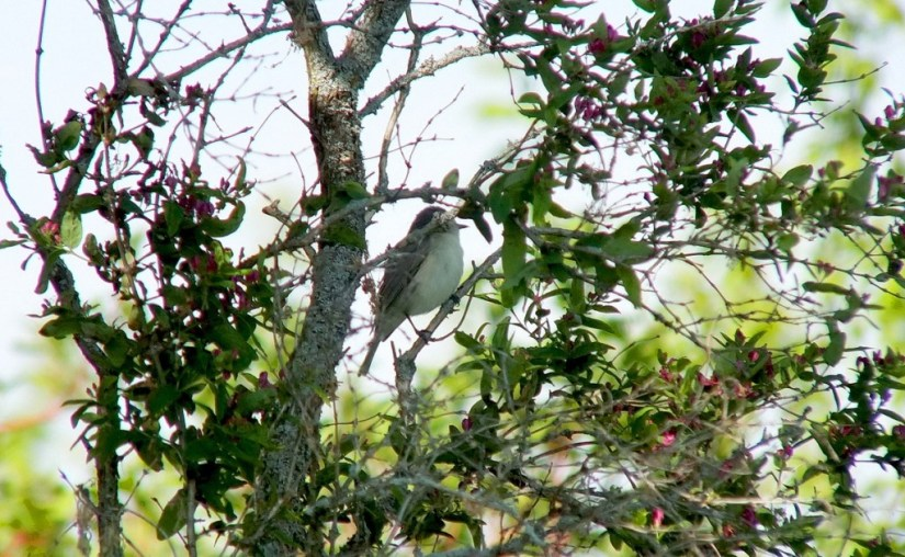 warbling vireo - sits lost to camera in tree - second marsh - oshawa - ontario