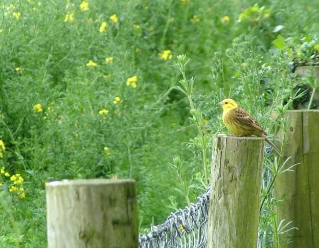 An image of a Yellowhammer bird sitting on a fence near the Brownshill Portal Tomb in County Carlow, Ireland. Photography by Frame To Frame - Bob and Jean.