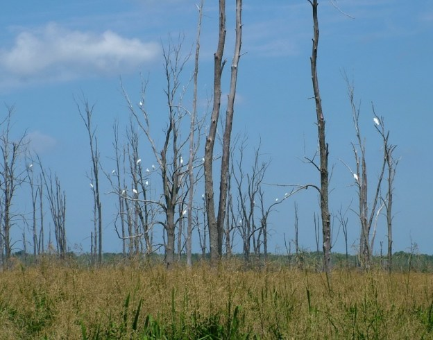 20 great egrets on trees, minesing swamp, ontario, frame to frame bob and jean