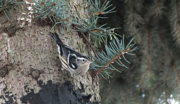 Black-and-white Warbler - looks towards camera - Frame To Frame Bob & Jean