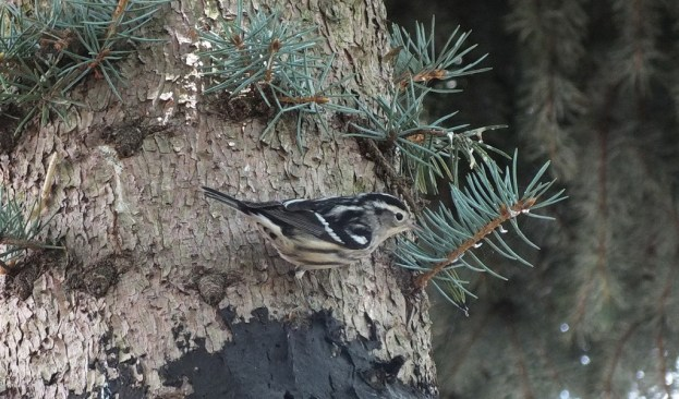 Black-and-white Warbler - on birch tree - Frame To Frame Bob & Jean
