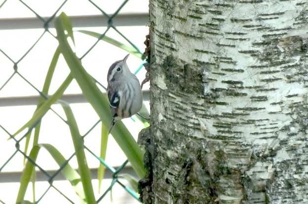 Black-and-white Warbler - on side of birch tree - Frame To Frame Bob & Jean