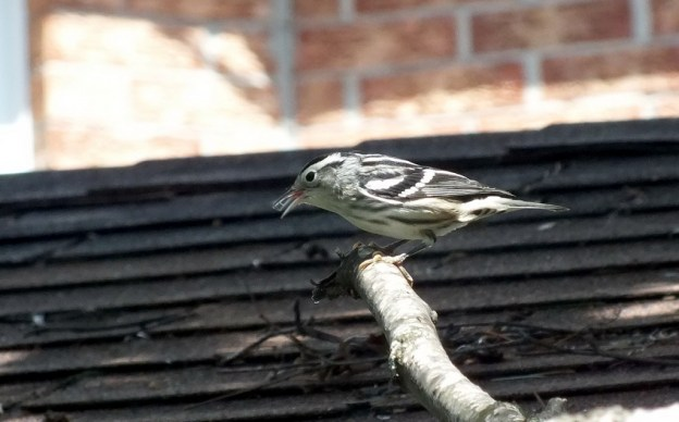 Black-and-white Warbler sings - Frame To Frame Bob & Jean