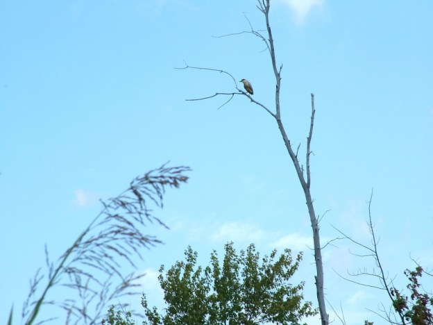 Black-crowned Night Heron in tree, minesing swamp, ontario