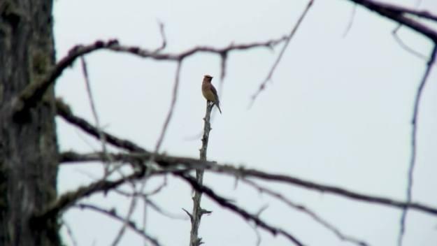 Cedar Waxwing, sits atop tree, oxtongue lake heron rookery, ontario