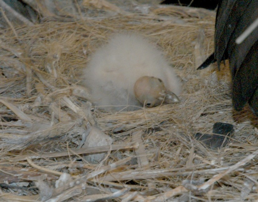 Condor Nestling 2 days old at Battleship Nest - Grand Canyon