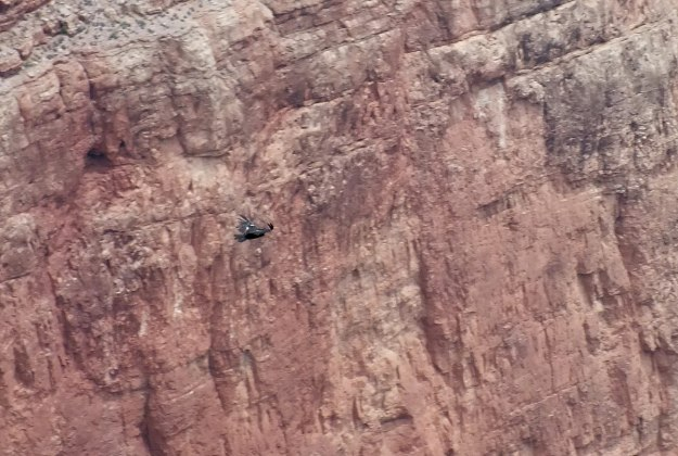 Condor in flight near Battleship Rock - Grand Canyon