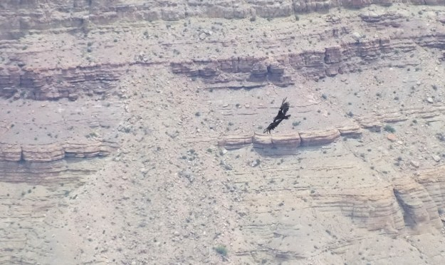 Condor soars above Grand Canyon