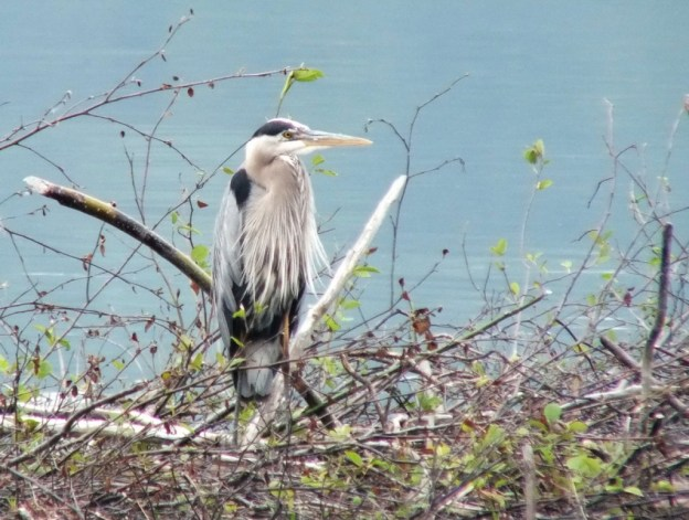 Great Blue Heron, Oxtongue lake, Ontario