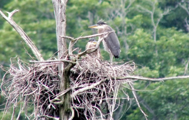 Great Blue Herons, Oxtongue lake, Ontario