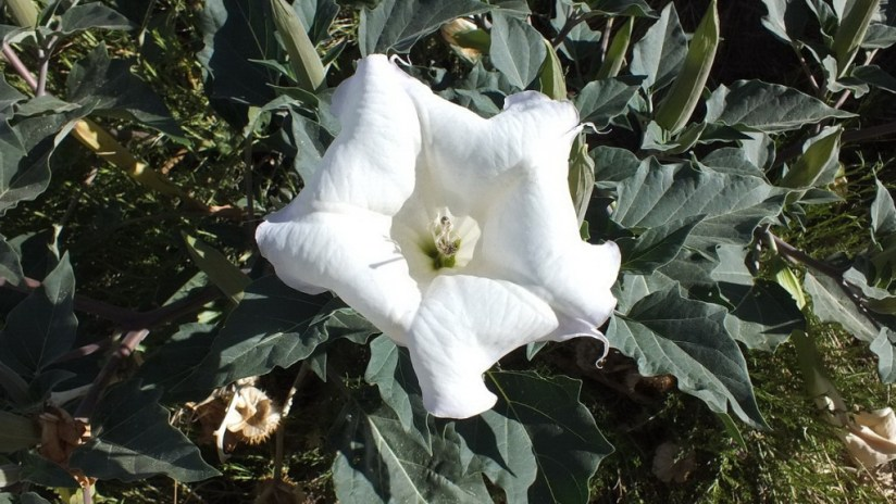 Moonflower during daytime with bugs - Grand Canyon National Park - Arizona