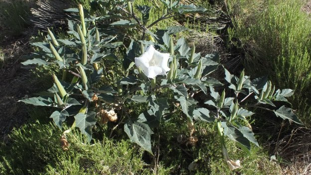 Moonflower plant during daytime - Grand Canyon National Park - Arizona