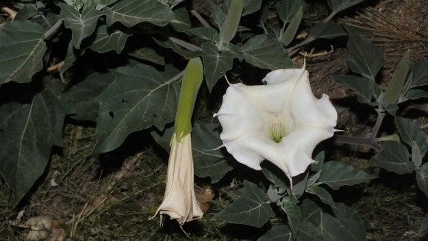 Moonflower plant at nighttime - Grand Canyon National Park - Arizona