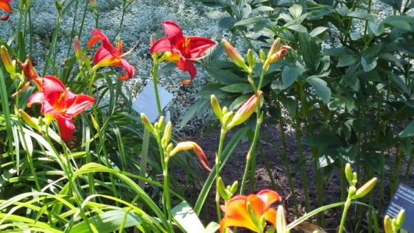 Ruby red daylilies - Montreal Botanical Garden - Frame To Frame Bob & Jean