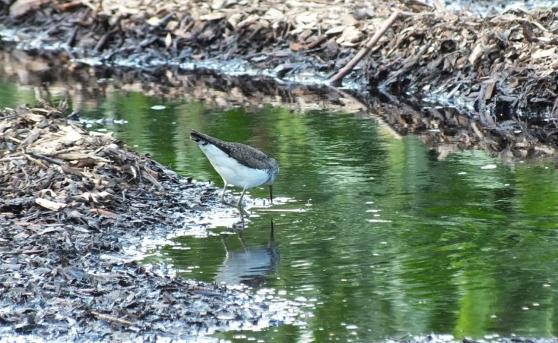 Solitary Sandpiper looking for a catch in water - Fernwood Farms - stayner - ontario
