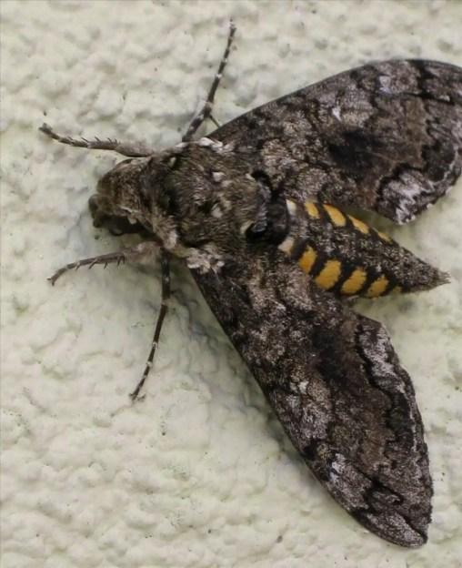 Tomato Hornworm Moth