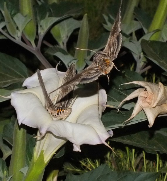 Tomato Hornworm Moths at a Moonflower - Grand Canyon National Park - Arizona